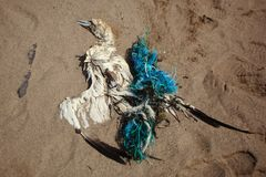 在网络里面的死亡gannet 库存照片