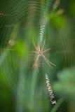 在网络的蜘蛛黄蜂潜伏的昆虫 免版税库存照片
