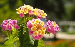 在罗得岛,希腊的植物群 图库摄影