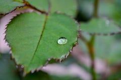 在罗斯叶子的一滴雨珠和在水下落的选择聚焦 免版税库存照片