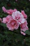 在罗斯花和植物的雨下落 免版税库存图片