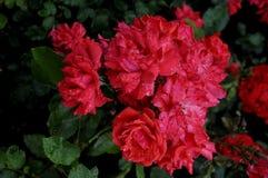 在罗斯花和植物的雨下落 库存照片