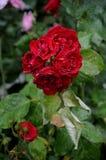 在罗斯花和植物的雨下落 免版税库存照片