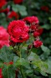 在罗斯花和植物的雨下落 免版税图库摄影