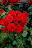 在罗斯花和植物的雨下落 库存图片