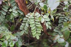 在罗望子树叶子的闪耀的小滴 免版税图库摄影
