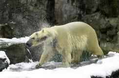 在罗杰威廉斯动物园的北极熊 免版税库存照片