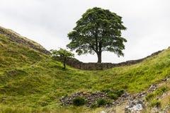在罗马墙壁上的美国梧桐空白 诺森伯兰角,英国 免版税库存图片