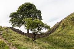 在罗马墙壁上的美国梧桐空白 诺森伯兰角,英国 库存照片