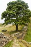 在罗马墙壁上的美国梧桐空白 诺森伯兰角,英国 库存图片