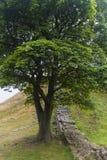 在罗马墙壁上的美国梧桐空白 诺森伯兰角,英国 免版税图库摄影
