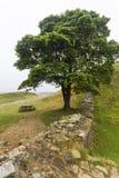 在罗马墙壁上的美国梧桐空白 诺森伯兰角,英国 免版税库存照片