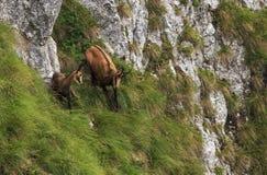 在罗马尼亚喀尔巴阡山脉的羚羊 免版税库存图片