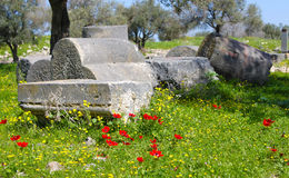 在罗马废墟的红色鸦片 免版税库存照片