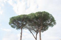 在罗马附近的海杉树小组 免版税库存图片