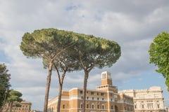 在罗马附近的海杉树小组 库存图片