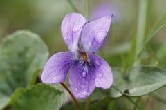 在羊毛制蓝色紫罗兰的雨珠在春天 免版税图库摄影