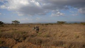 在美丽如画的大草原的非洲斑马在小山和金合欢树背景中  股票视频