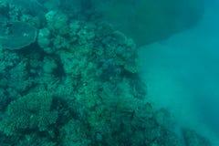在美丽的五颜六色的珊瑚礁的Snorcheling在海 夏天职业 图库摄影