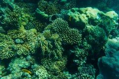 在美丽的五颜六色的珊瑚礁的Snorcheling在海 夏天职业 库存图片