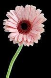 在美丽的充分的开花的桃红色大丁草在黑色:裁减路线 库存照片