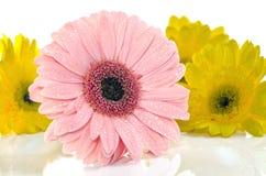 在美丽的充分的开花的桃红色黄色大丁草在白色,选择聚焦 免版税库存图片