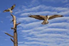 在美丽的多云天空的白鹭的羽毛飞行 库存照片