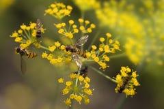 在美丽的小茴香花的蜂 免版税库存图片