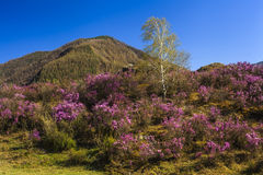 在美丽的山的背景的杜鹃花灌木 库存图片