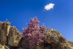 在美丽的山的背景的杜鹃花灌木 免版税库存图片