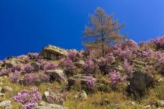 在美丽的山的背景的杜鹃花灌木 免版税库存照片