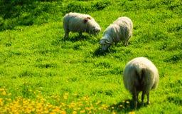 在美丽的山草甸的绵羊在挪威 图库摄影