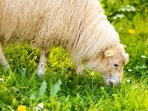 在美丽的山草甸的绵羊在挪威 免版税库存照片