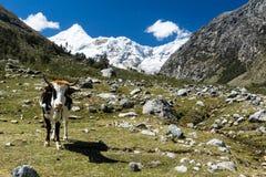 在美丽的山谷的唯一多色的母牛在秘鲁 免版税库存图片