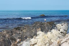 在美丽的岩石海岸的孤独的海鸥反对风平浪静 免版税库存照片