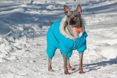 在美丽的总体的逗人喜爱的美国无毛的狗在白色雪站立 宠物 免版税库存照片