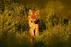 在美丽的晚上太阳的东北虎 跑在草的阿穆尔河老虎 行动野生生物与危险动物的夏天场面 日落 库存照片