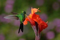 在美丽的橙色花旁边的绿色被加冠的精采蜂鸟飞行与砰在背景中开花 库存照片