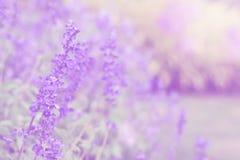 在美丽的淡紫色花的软的迷离在庭院里 免版税库存图片
