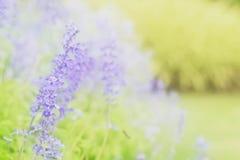 在美丽的淡紫色花的软的迷离在庭院里 库存照片