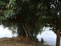 在美丽的湖旁边的竹树 库存图片