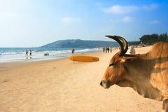 在美丽的热带海滩在Asvem,印度的母牛 免版税图库摄影