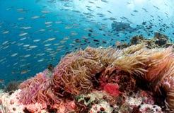 在美丽的珊瑚礁和银莲花属后的轻潜水员 免版税库存照片
