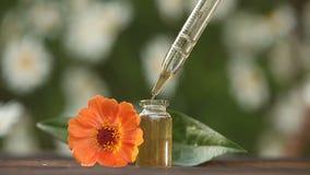在美丽的瓶的百日菊属精油在木背景