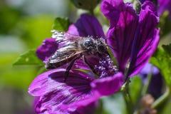 在美丽的紫罗兰色花的蜜蜂饲养花粉在夏天 库存照片