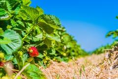 在美丽的草莓农场的早晨 庭院床用一些成熟果子 蓝天在背景中 库存图片