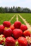 在美丽的草莓农场的早晨 库存图片