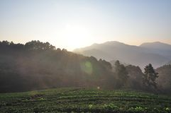 在美丽的草莓农场的早晨 免版税库存照片
