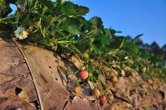 在美丽的草莓农场的早晨 免版税库存图片
