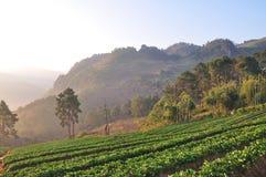 在美丽的草莓农场的早晨 图库摄影